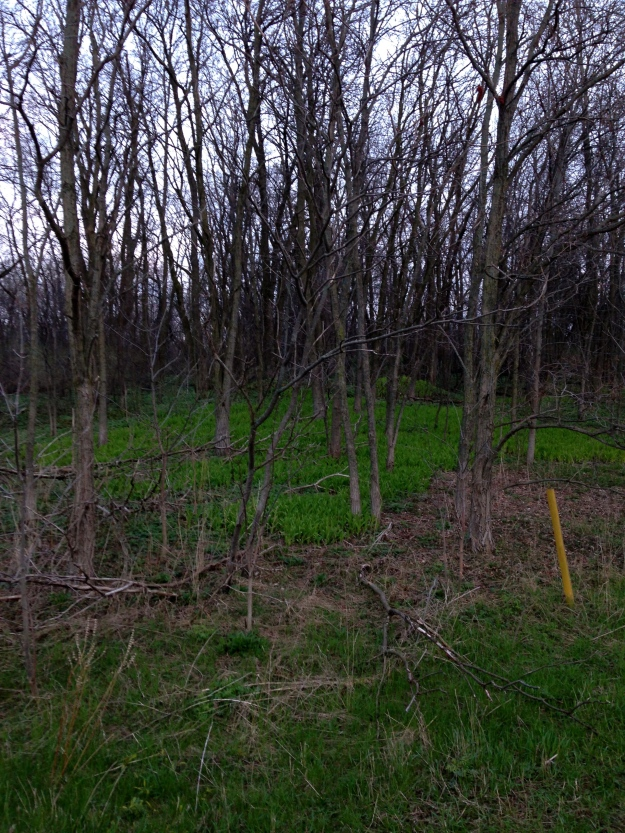 Spring!  I'm hoping these are trilliums.  I will know soon!