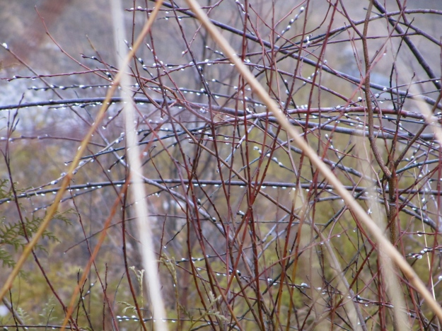 Spring dew on lakeside branches.