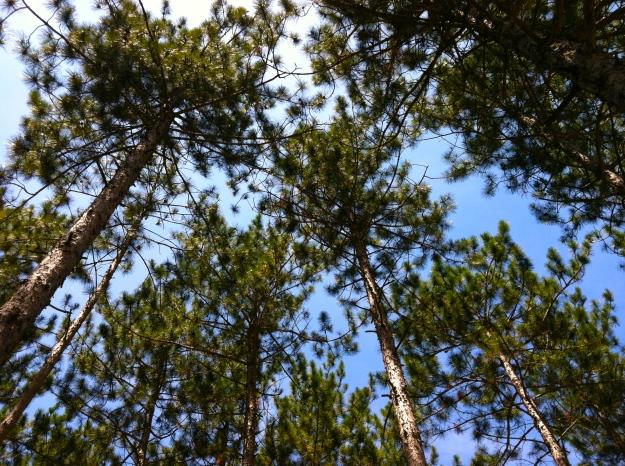 Pine trees in Menominee